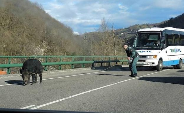 El agente de la Guardia Civil en el momento en el que capturó al animal.