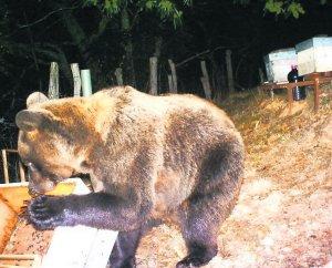 Resultado de imagen de osos en colmenas
